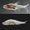 Contrasting feeding habits of post-larval and adult <i>Astyanax</i> cavefish