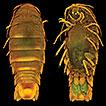 A new genus for <i>Cirolana troglexuma</i> Botosaneanu &amp; Iliffe, 1997, an anchialine cave dwelling cirolanid isopod (Crustacea, Isopoda, Cirolanidae) from the Bahamas