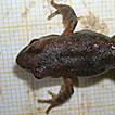 Is the Italian stream frog (Rana italica ...