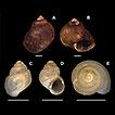 Diversity of Potamolithus (Littorinimorpha, ...