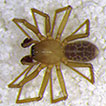 A new species of spider (Araneae, Linyphiidae, ...