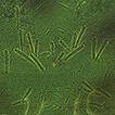 Neocarus spelaion sp. n. (Parasitiformes, ...