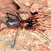Kut gen. nov., a new troglomorphic spider ...