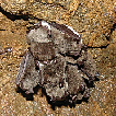 Siberian weasel Mustela sibirica Pallas, ...