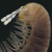 Pseudonannolene canastra sp. nov. (Diplopoda, ...
