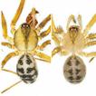 Nesticus kosodensis Yaginuma, 1972 bona ...