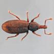 Three new subterranean species of Baezia ...