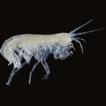 Stygobromus bakeri, a new species of ...