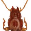 A new subterranean species of Anillinus ...