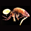 First report of cave springtail (Collembola, Paronellidae) parasitized by mite (Parasitengona, Microtrombidiidae)