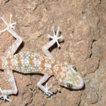 New distribution records of cave-dwelling gekkonid lizards (Sauria, Gekkonidae and Phyllodactylidae) in the Zagros Mountains of Iran