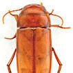 A new interstitial species of diving beetle from tropical northern Australia provides a scenario for the transition of epigean to stygobitic life (Coleoptera, Dytiscidae, Copelatinae)